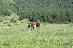 Vache sur la zone Photographie stock