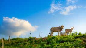 Vache sur le ciel bleu. images libres de droits