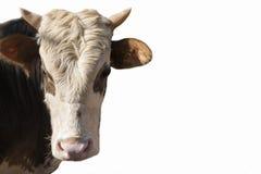 Vache sur le fond blanc Photographie stock