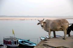 Vache sur le Ganga Images libres de droits