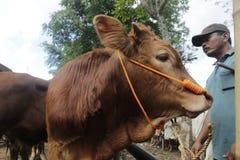 Vache sur le marché traditionnel Photo stock