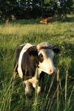 Vache sur le pâturage photographie stock