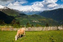 Vache sur le pâturage de montagne Photographie stock