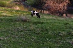 Vache sur le pâturage par la rivière au coucher du soleil Photographie stock libre de droits