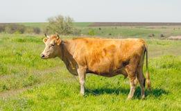Vache sur le pâturage Paysage calme de campagne Images stock