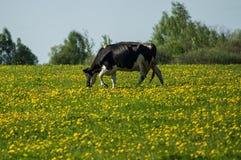 Vache sur le pré de fleur Image stock