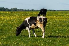 Vache sur le pré de fleur Photographie stock libre de droits