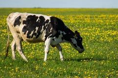 Vache sur le pré de fleur Photo libre de droits