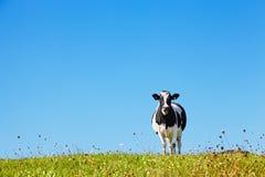 Vache sur le pr? image stock
