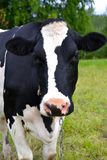 Vache sur un champ Photo stock