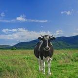 Vache sur un champ vert contre des montagnes Photographie stock libre de droits