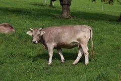 Vache sur un cordon suisse vert de ferme Photographie stock libre de droits