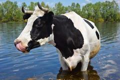 Vache sur un endroit d'arrosage Photographie stock libre de droits
