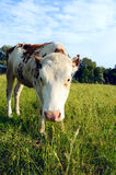Vache sur un pâturage d'été Photographie stock