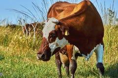 Vache sur un pâturage d'été Image libre de droits