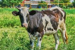 Vache sur un pâturage d'été Photo stock