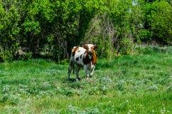 Vache sur un pré Photographie stock