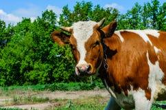 Vache sur un pré Photo stock