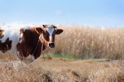 Vache sur un pré Images stock