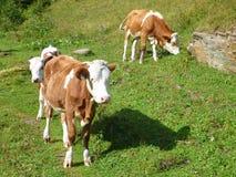 Vache sur un pré alpin photos stock