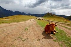 Vache sur un pré de montagne. La Géorgie, Tsminda Sameba. Image libre de droits