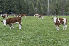 Vache sur un pré en Autriche Photo libre de droits
