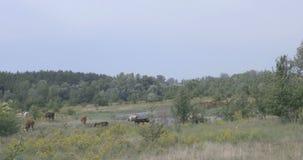 Vache sur un pré par la rivière banque de vidéos