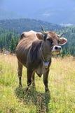 Vache sur un pâturage dans Carpathiens Photographie stock