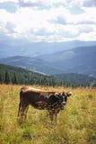 Vache sur un pâturage en montagnes carpathiennes, Ukraine Image stock