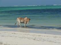 Vache sur une plage sablonneuse blanche Photo stock