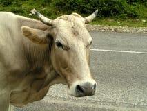 Vache sur une route Photographie stock libre de droits