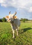 Vache thaïlandaise dans le pré Photos libres de droits