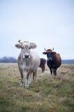 Vache toilettée sur la pelouse en automne Photos libres de droits