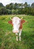 Vache très drôle avec le grand museau regardant fixement directement dans la fin d'appareil-photo  Animaux de ferme Photographie stock libre de droits