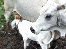 Vache trayant le veau Image libre de droits