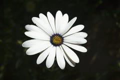 Vachellia erioloba 免版税库存照片