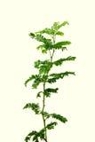Vachellia nilotica或babool 库存图片