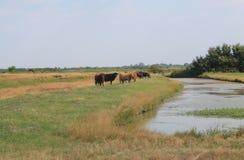 Vaches高地牛, Hiers法国 免版税库存图片