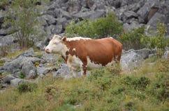 Vaches à élevage frôlant haut dans les montagnes Photographie stock libre de droits