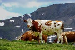 Vaches à Alpes Photo stock