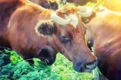 Vaches à Brown au champ de vert d'été Photographie stock libre de droits