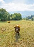 Vaches à Brown frôlant sur un pré Photographie stock libre de droits