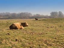Vaches à Brown se trouvant sur un pré image stock