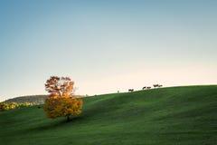 Vaches à champ de coucher du soleil Photos stock