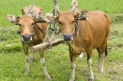 Vaches à charrue Photos stock