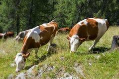 Vaches à Duch dans les Alpes Photo libre de droits