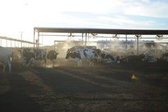 Vaches à exploitation laitière alimentant au coucher du soleil image libre de droits