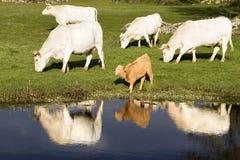 Vaches à fleuve Image libre de droits
