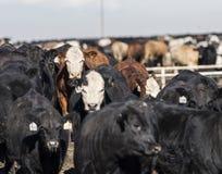 Vaches à fourrage dans le fumier et la boue Photo libre de droits