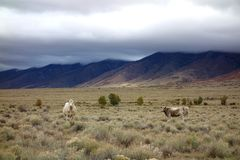 Vaches à haute montagne dans le San Luis Valley Photos stock